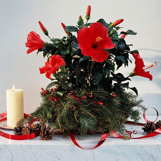hibiscus-flower-decorate-with-ribbons-for-christmas